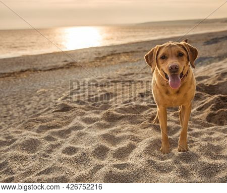 A Yellow Labrador Retriever Pet Dog On A Beautiful Sandy Beach In Cornwall At Sunset