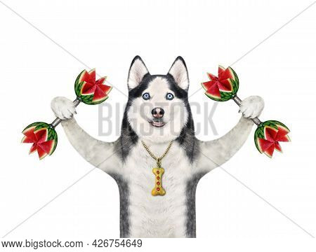 A Dog Husky Athlete Lifts Watermelon Dumbbells. White Background. Isolated.
