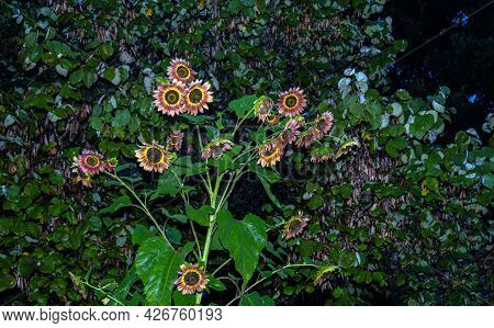 More Than A Dozen Sunflowers Opened From This Single Stem And Seem To Glow Brightly In The Evening M