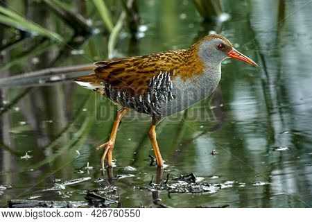 Bird - Western Water Rail ( Rallus Aquaticus ) Moves Quickly Through Shallow Water In Thickets Of Re