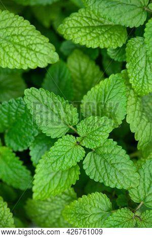 lemon balm (melissa) herb leaf closeup