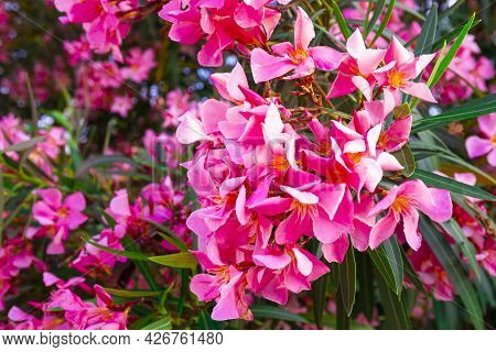 Pink Blooming Oleander Close Up, Beautiful Summer Flowers On The Tree
