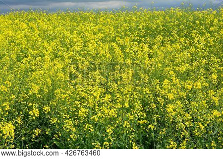 Rapeseed Blooming Field. An Agricultural Field Of Rapeseed, Brassica Napus With Yellow Blossoms Grow