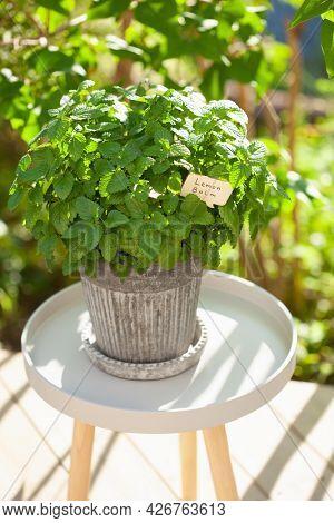 lemon balm (melissa) herb in flowerpot in garden