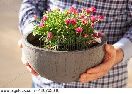 man gardener holding marguerite daisy flowers in flowerpot in garden