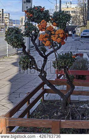 Ornamental Plant Bush Cotoneaster With Orange Berries, Very Attractive In Autumn, Sofia, Bulgaria