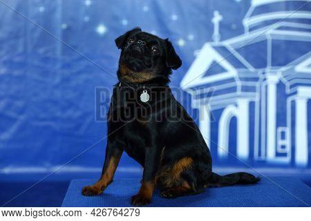 Adorable Black Petit Brabancon Dog Sitting On Blurred Blue Background