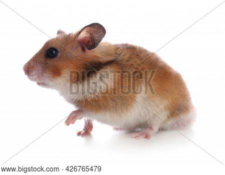 Adorable Hamster On White Background. Lovely Pet