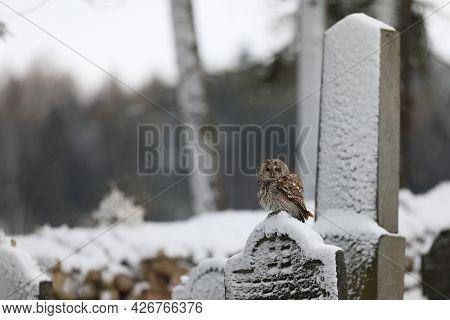 Tawny Owl - Strix Aluco - Sitting On Gravestone In Jewish Cemetery