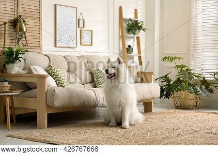 Adorable Samoyed Dog In Modern Living Room