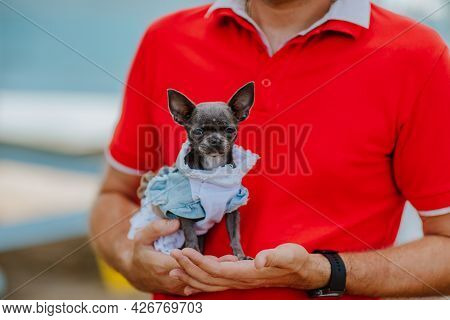 Cute Dark Grey Chihuahua Dog In Jeans Dress At Man's Hand In Red Summer Shirt. Copy Space.
