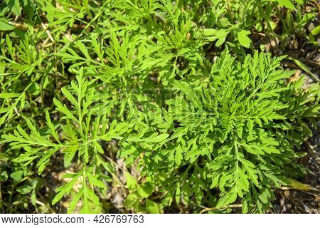 American Common Ragweed. Young Bushes Have Not Yet Bloomed Ambrosia. Dangerous Plant, Ambrosia Shrub