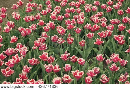 It Is My Favorite Flower. Gather The Bouquet. Pink Vibrant Flowers. Field With Tulips In Netherlands