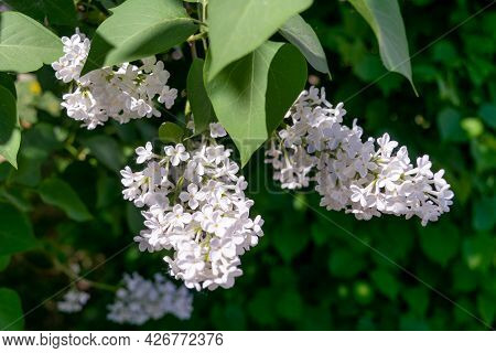 Lilac Branch Bloom In Garden. Bright Blooms Of Spring Lilacs Bush. Spring Lilac Flowers Close-up On