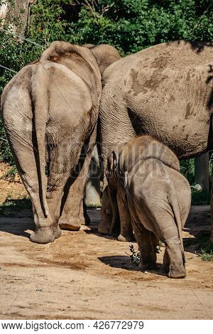 Cute Adorable Baby Elephant With Parents In Spectacular Elephant Valley, Zoo Czech Republic.indian E