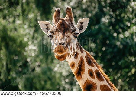 Rothschild Giraffe In Zoo.giraffe In Front Of Green Trees Looking In To Camera. Funny Giraffe Face.
