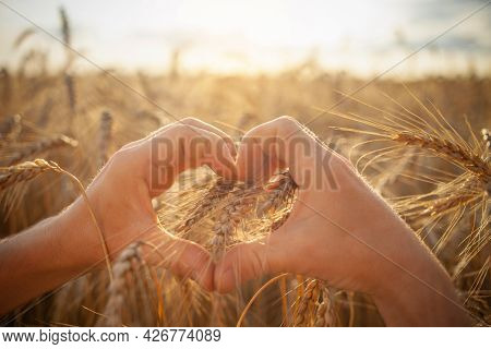 Agronomist Checks The Quality Of The Crop. Ripe Wheat, A Field Of Barley. A Human Hand Against The B