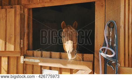 A Chestnut Horse Looking Out From The Window Of The Stall. Sunlight Hitting The Horses Face. View Of