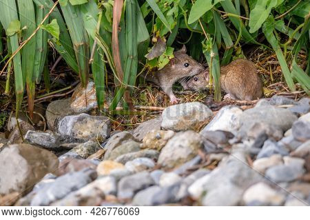 Two Brown Rat. Rattus Norvegicus. Common Rodent Foraging. Wildlife.