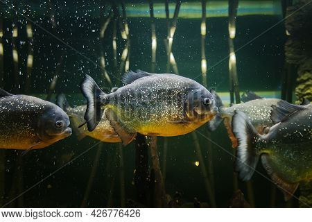 Group Of Red-bellied Piranha, Also Known As The Red Piranha - Pygocentrus Nattereri In A Fish Tank.