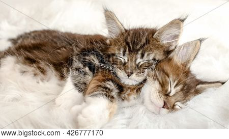 Grey Striped Kittens Wakes. Kittens Sleeping On A Fur White Blanket. Concept Of Adorable Cat Pets.