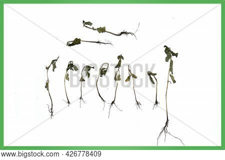 Dried Basil Sprouts Isolated On White Background. Photo For An Article About Unsuccessful Plant Care
