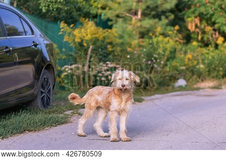 Young Cute Shaggy Dog, Home Frightened Wheaten Terrier Pet Runs Home To The Gate Of The Fence Door I