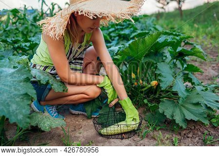 Woman Gardener Harvesting Zucchini In Summer Garden, Cutting Them With Pruner And Putting Them In Ba