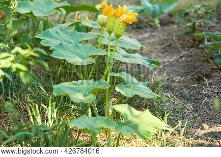 A Creeping Pumpkin Stalk With Large Yellow Flowers Of The Male Type. Selective Focus.