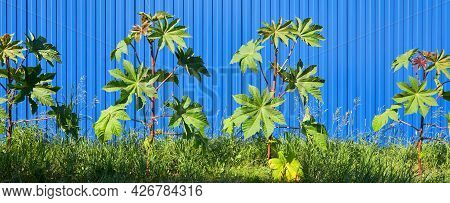 Panoramic Image Of Castor Bushes Growing Along The Blue Fence.