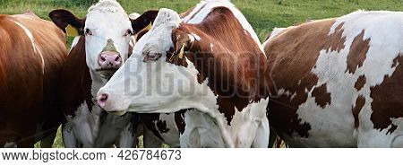 Photo Of Cows, Farm Or Ranch, Agriculture