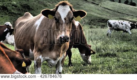 Picture Of A Cow, A Cow Looking At Me, Farm Or Ranch, Agriculture, Dramatic Colors, Brown Cow And Gr