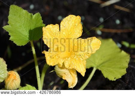 Blooming Yellow Squash With Dew Drops In A Garden.