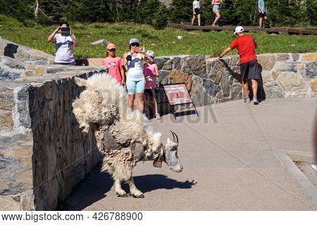 Montana, Usa - July 1, 2021: Mountain Goat Leaps Off A Ledge As Nearby Tourists Take Photos, Near Lo