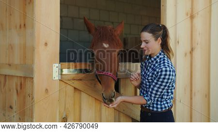Female Horse Owner Feeding Her Dark Bay Horse Out Of Her Hand. The Horse Taking Out Its Head From In