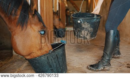 A Dark Brown Blind Horse Drinking Water From A Bucket In The Horse Stable. Close-up View. A Girl In