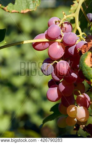 Red Grapes In A Vine Yard.grape On A Green Vine Branch In Vineyard Before Harvest.riped Grapes Ready