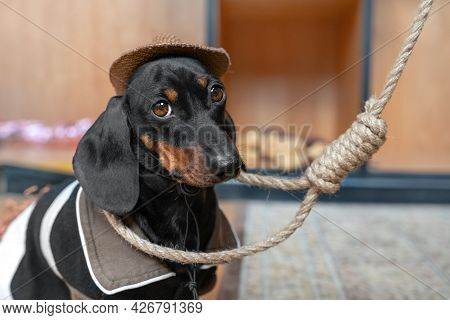 Lovely Sad Dachshund Puppy In Cowboy Costume With Wide-brimmed Hat Sits With A Noose Around Its Neck