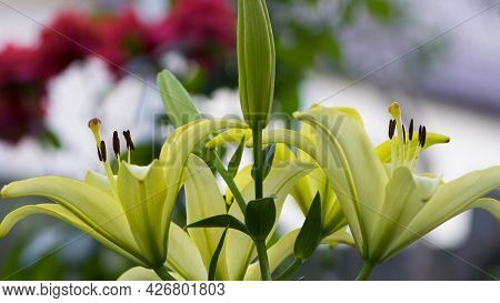 Lilium Maculatum Thunb. Yellow Lily. Beautiful Lily Flower. Delicate White Lilies In The Garden, In