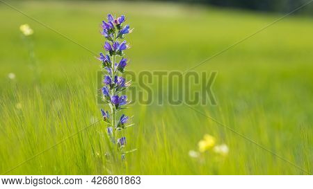 Echium Vulgare. Blue Wild Flower, Green Spikelets Of Young Wheat. Wild Plant. Green Natural Backgrou