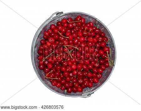 Harvest Red Cherries In An Iron Bucket. The Fruits Of Red Wine. Garden Harvest. Iron Bucket. Agricul