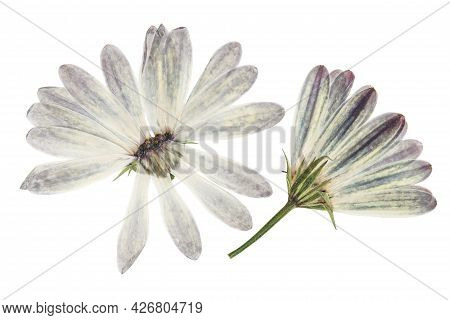 Pressed And Dried Flowers Osteospermum, Isolated On White Background. For Use In Scrapbooking, Press