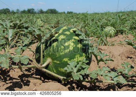In The Foreground There Is A Large Ripe Striped Watermelon Against The Backdrop Of An Endless Green