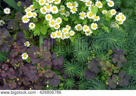 Top View Of Alpine Slide With Contrasting Combination Of Low Growing Plants. White Chamomile Pyrethr