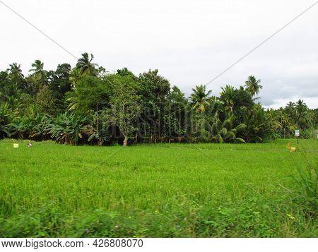 Galle, Sri Lanka - 05 Jan 2011: The Pineapple Plantation In The Valliage, Sri Lanka