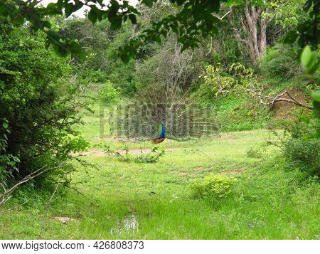Yala, Sri Lanka - 09 Jan 2011: The Peacock On The Safari In Yala National Park, Sri Lanka
