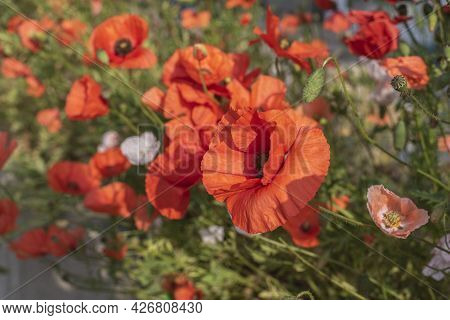 A Common Poppy Flower With Red Petals And Black Stamens In Sunlight