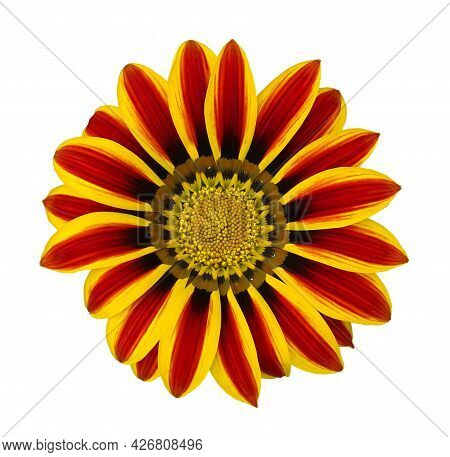 Res Striped Gazania Riggens, Treasure Flower Isolated On White Background