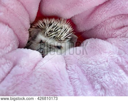 African Dwarf Hedgehog Sleeping In Pink Sack. Adorable Little Pet