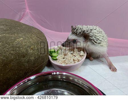 African Dwarf Hedgehog Eating From Bowl On Pink Background. Adorable Little Pet